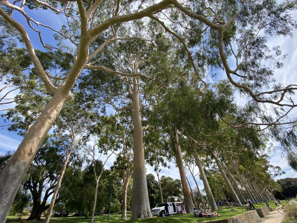 パースのボタニックガーデンの植物!これはgumtreeです