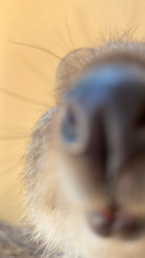 カメラに近づきすぎちゃうクオッカ
