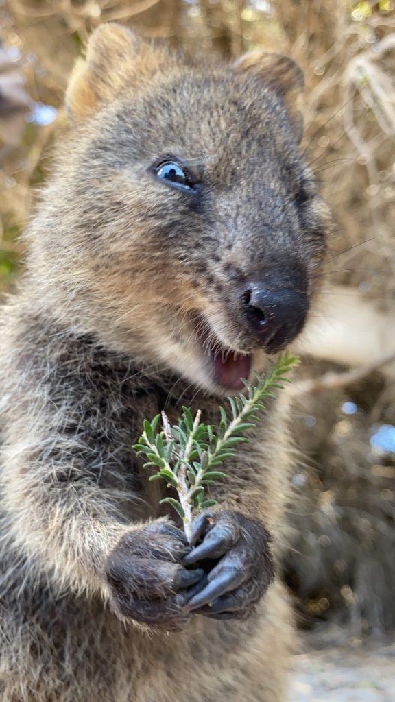ロットネスト島で出会ったクオッカが嬉しそうに草を食べるとき