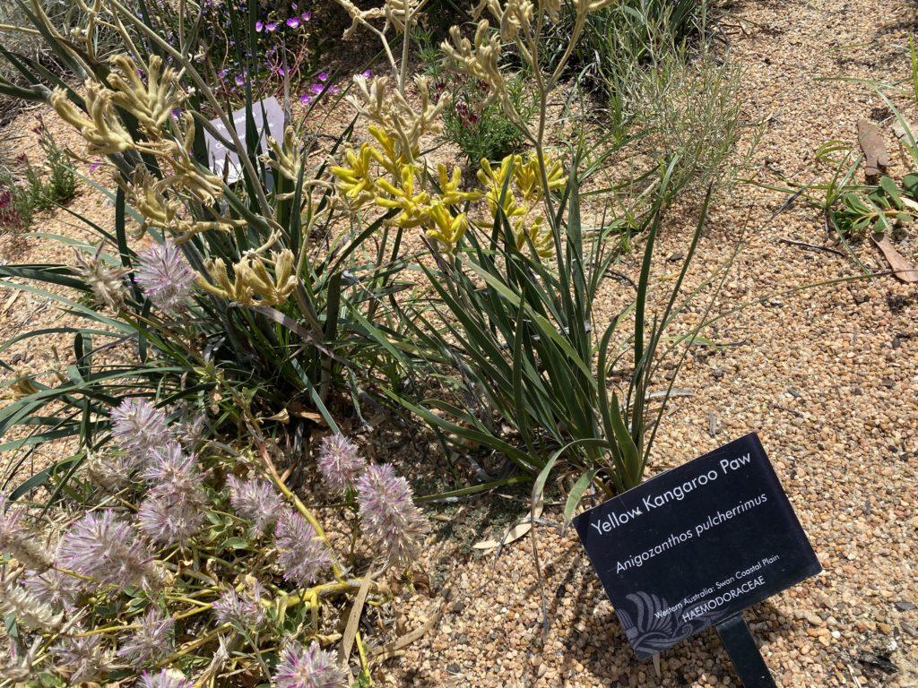 パースのボタニックガーデンで見つけたカンガルーの手という花