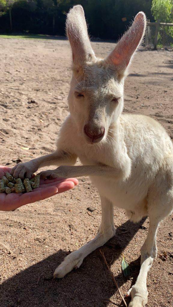 白いカンガルーに餌をあげている様子