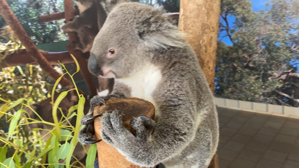 パースで触れるコアラ